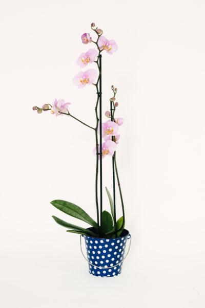 Planta Orhidee Phalaenopsis P1