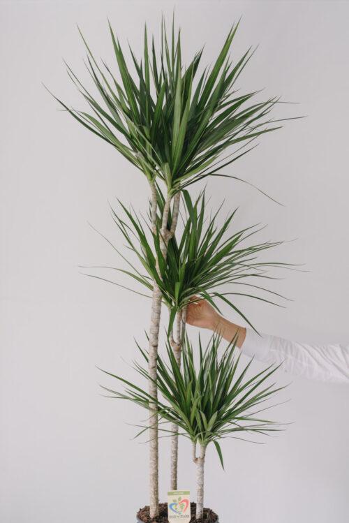Planta La Ghiveci De Mari Dimensiuni Dracaena La Ghiveci