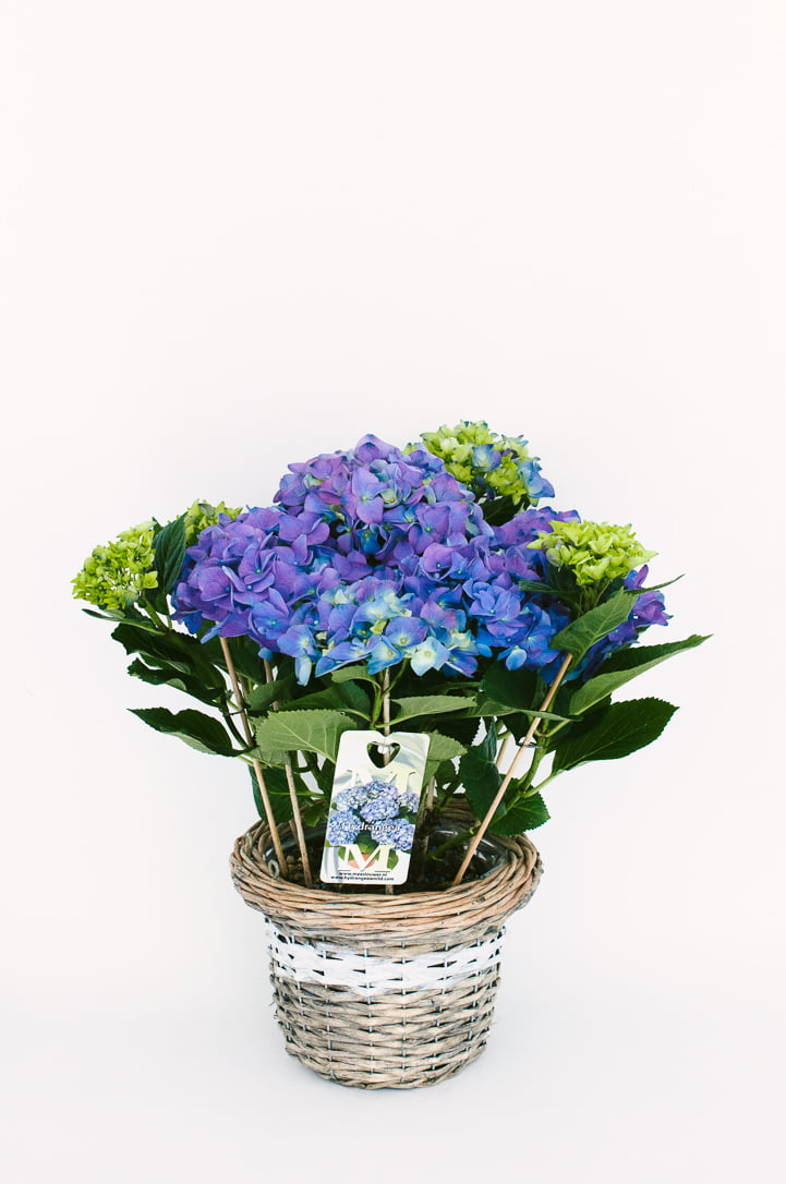 Hortensie la ghiveci albastra
