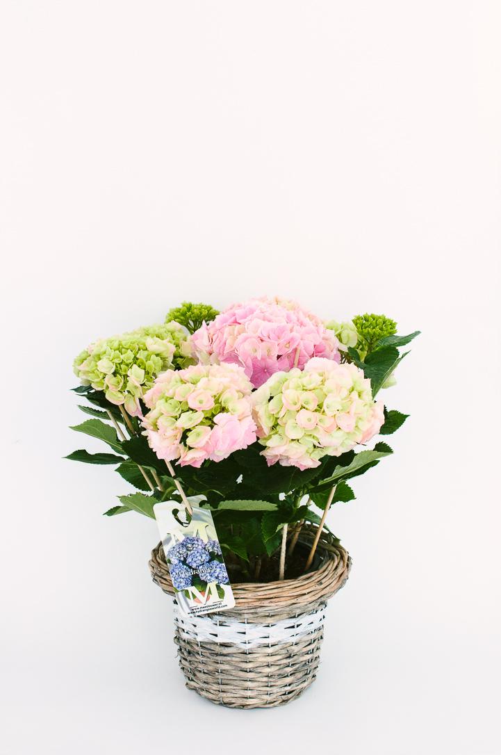 Hortensie la ghiveci roz