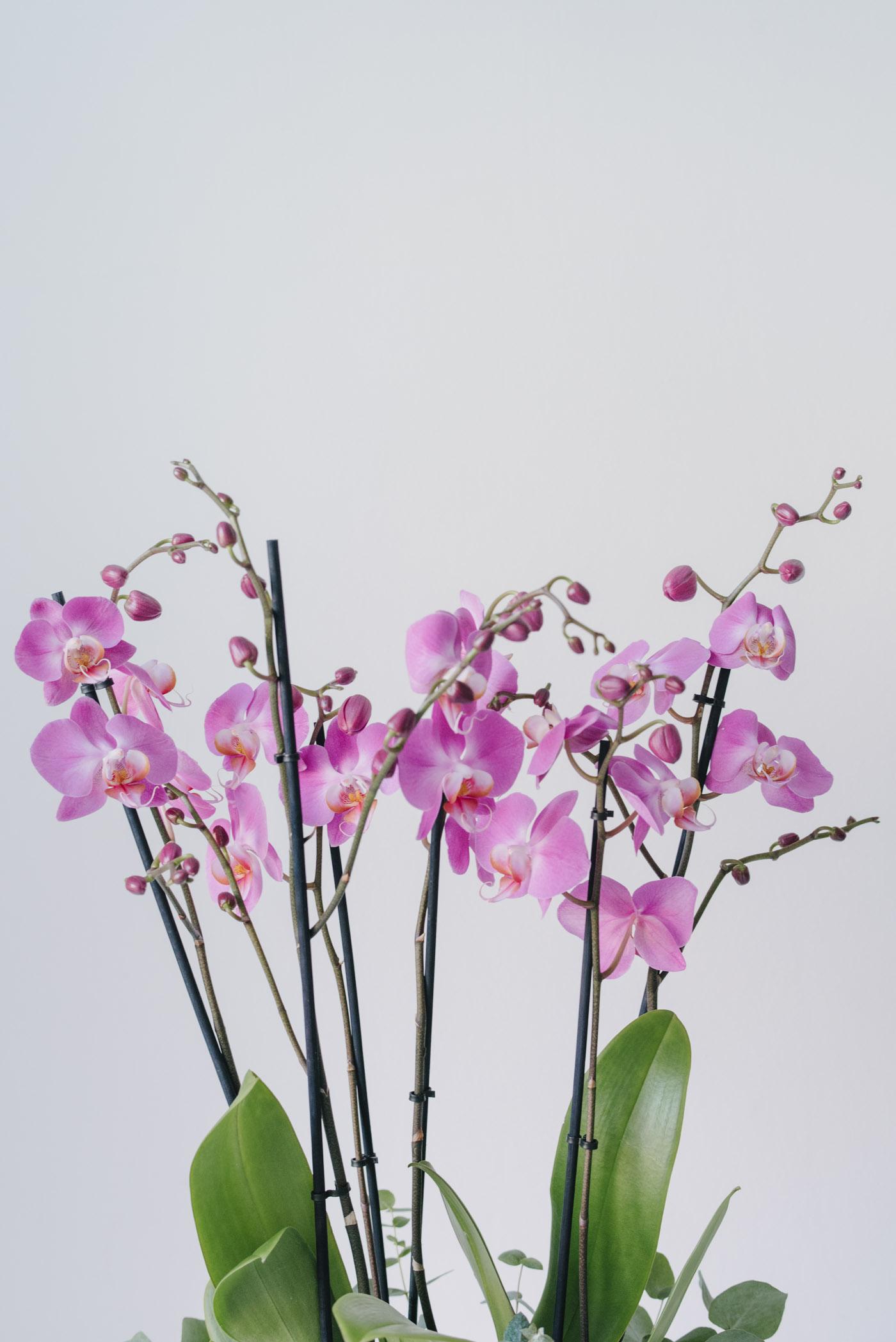 Aranjament Din Orhidee La Ghiveci In Vas Ceramic Alb