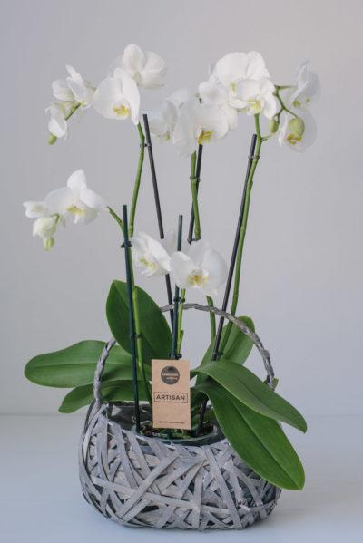 Orhidee La Ghiveci Alba Cu 4 Fire