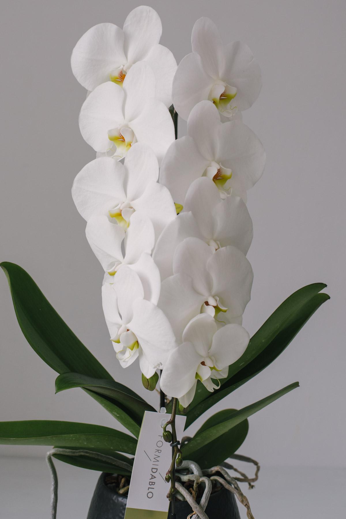 Orhidee La Ghiveci Deluxe Alba
