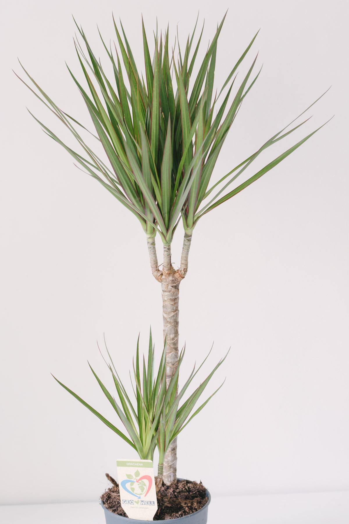 Plantă Dracaena La Ghiveci 100cm
