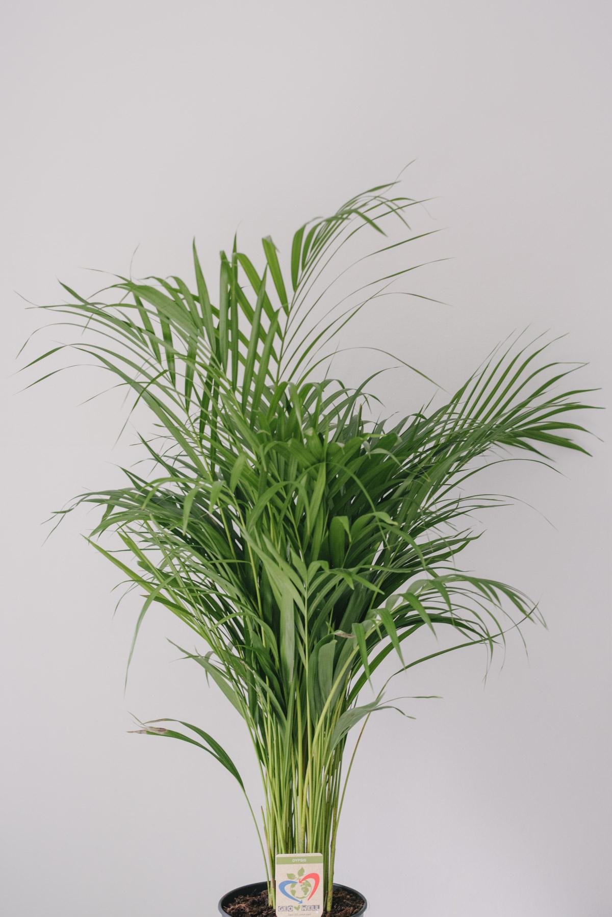 Planta La Ghiveci De Mari Dimensiuni Areca Dypsis 3