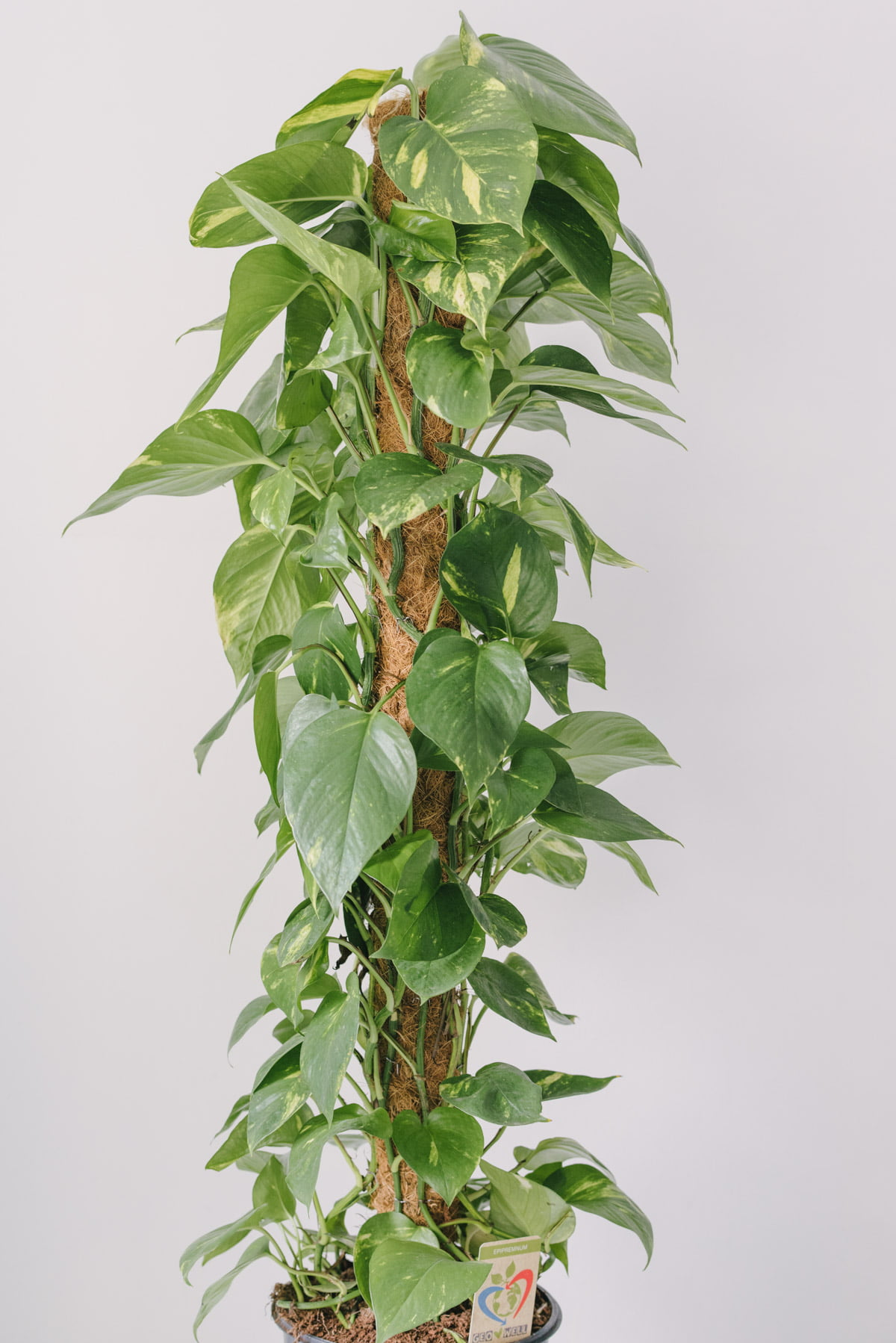 Plantă La Ghiveci De Mari Dimensiuni Epipremnum Aureum