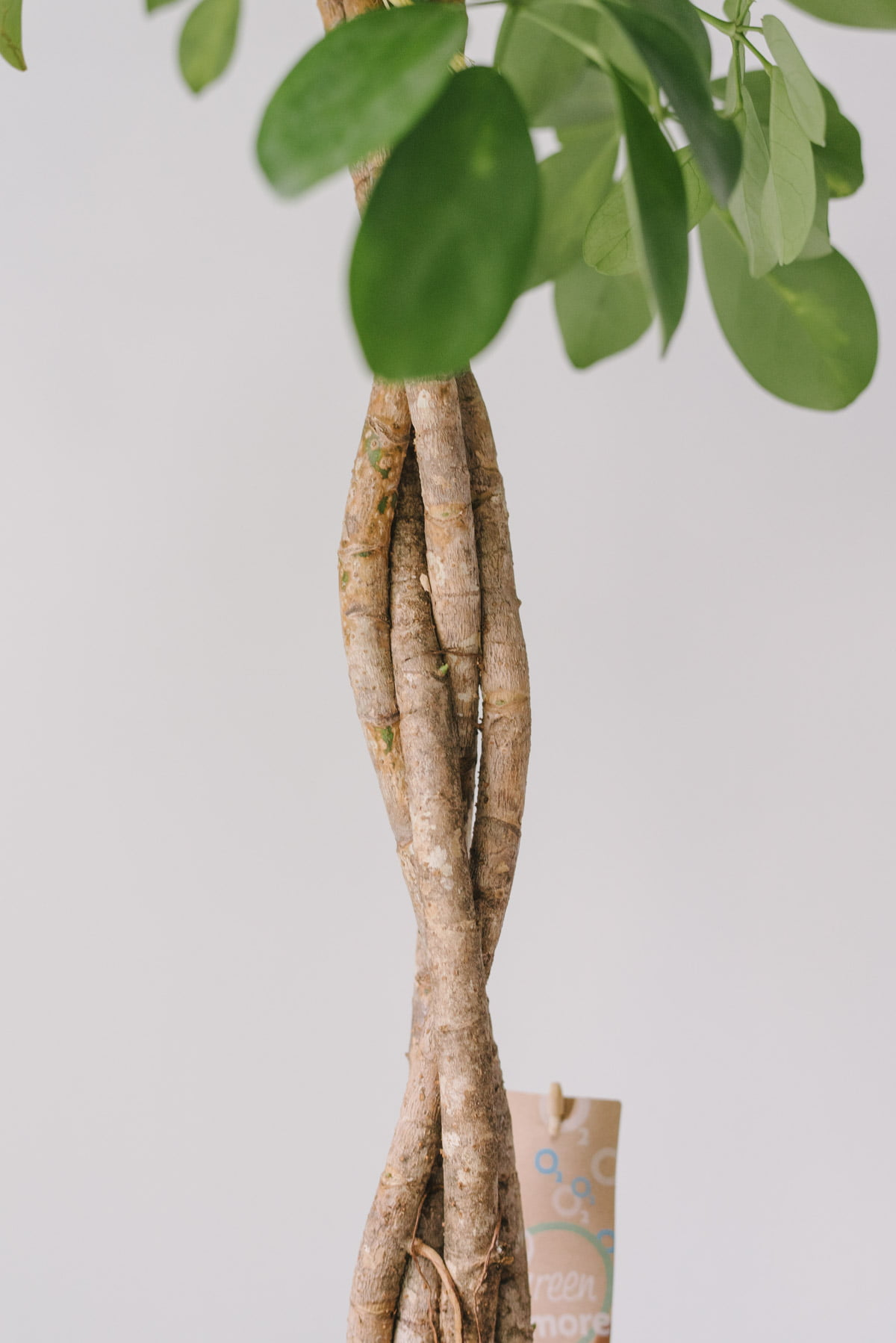 Planta La Ghiveci Schefflera Arboricola