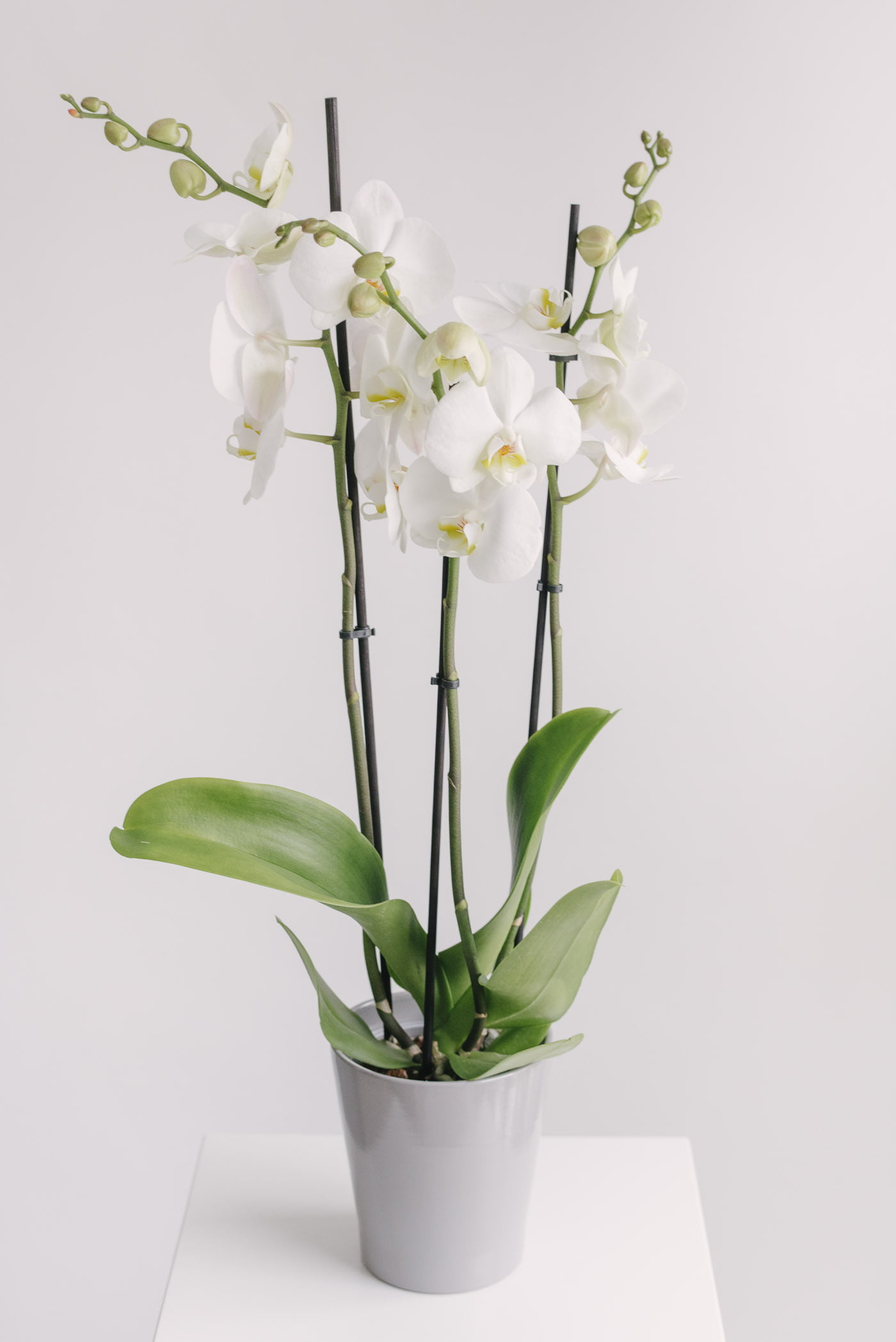Orhidee Phalaenopsis alba la ghiveci