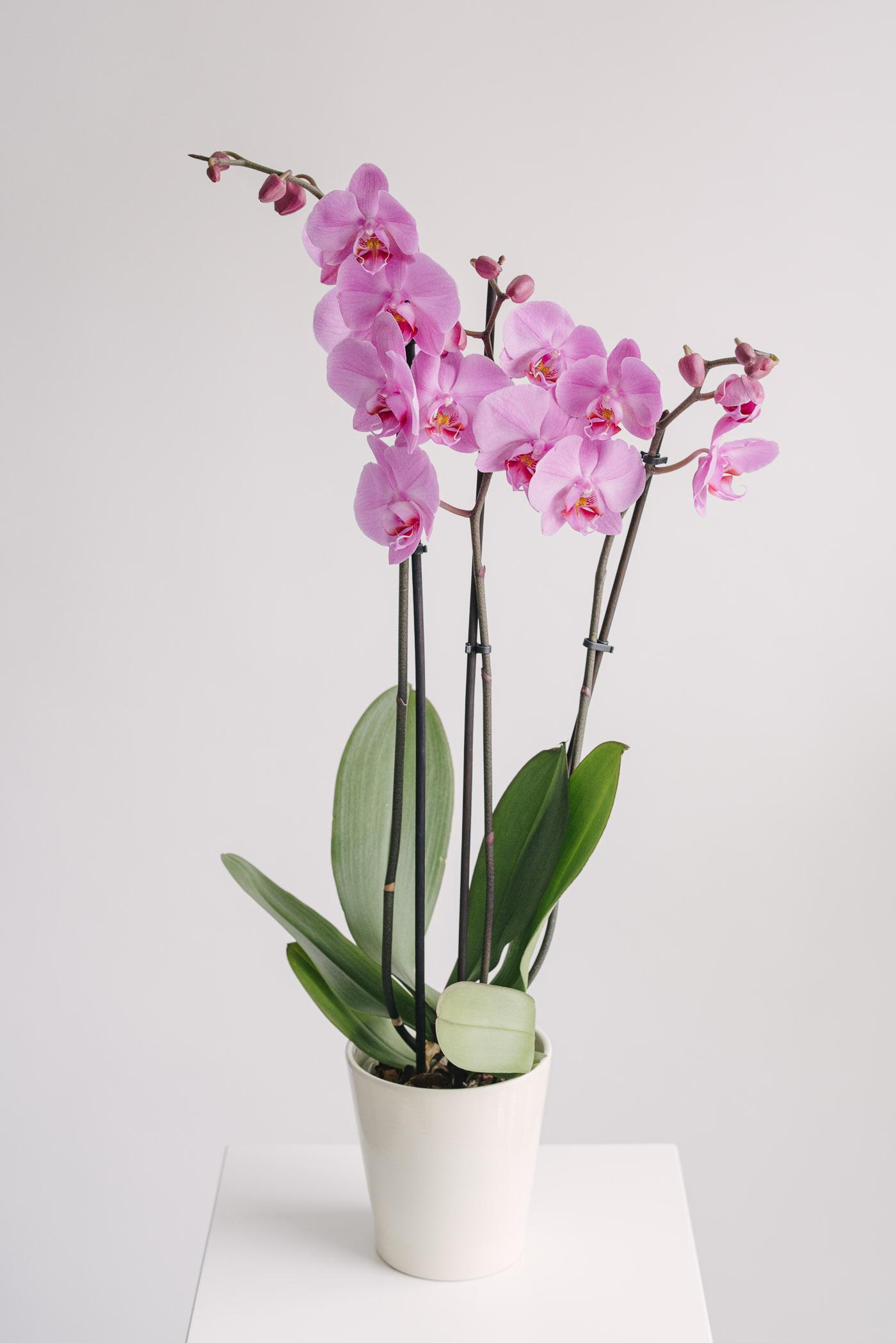 Orhidee Phalaenopsis colorata la ghiveci