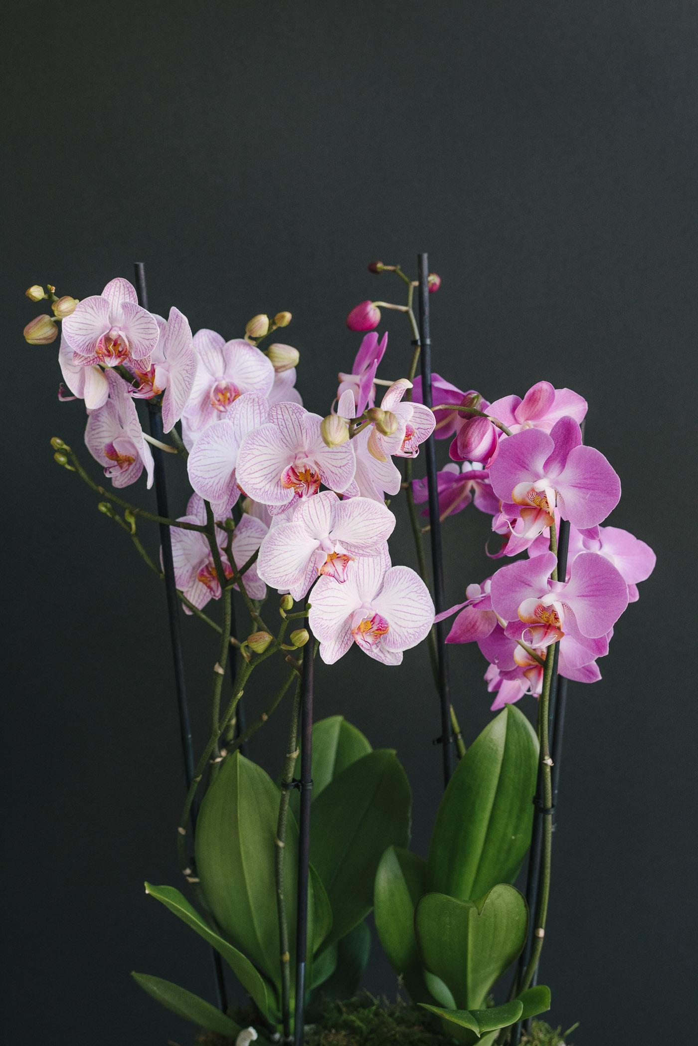 2 Orhidee La Ghiveci Și Mușchi În Vas Ceramic Oval Gri