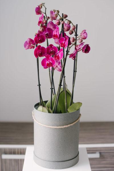 Aranjament Cu 3 Orhidee Phalaenopsis La Ghiveci