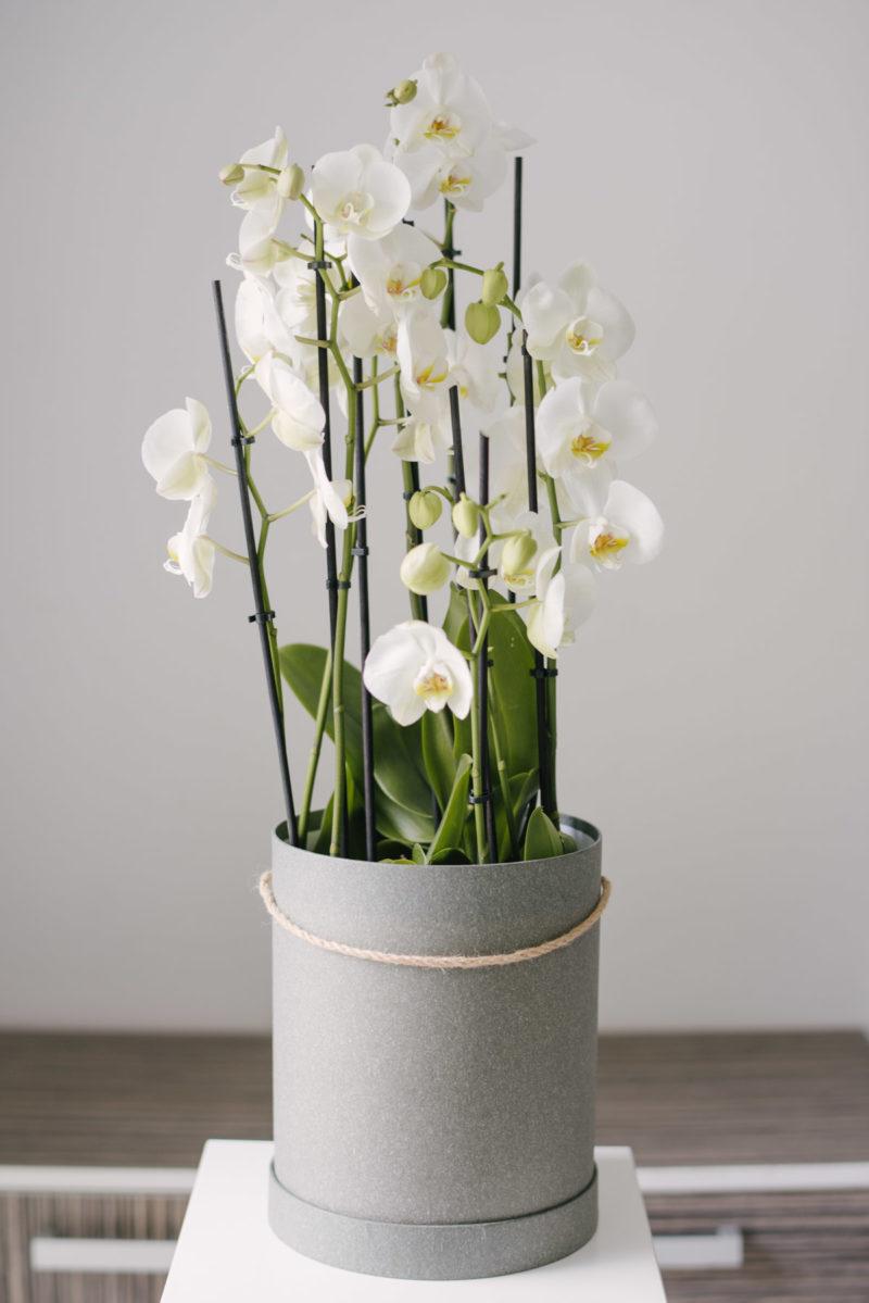 Aranjament Cu Orhidee Phalaenopsis La Ghiveci