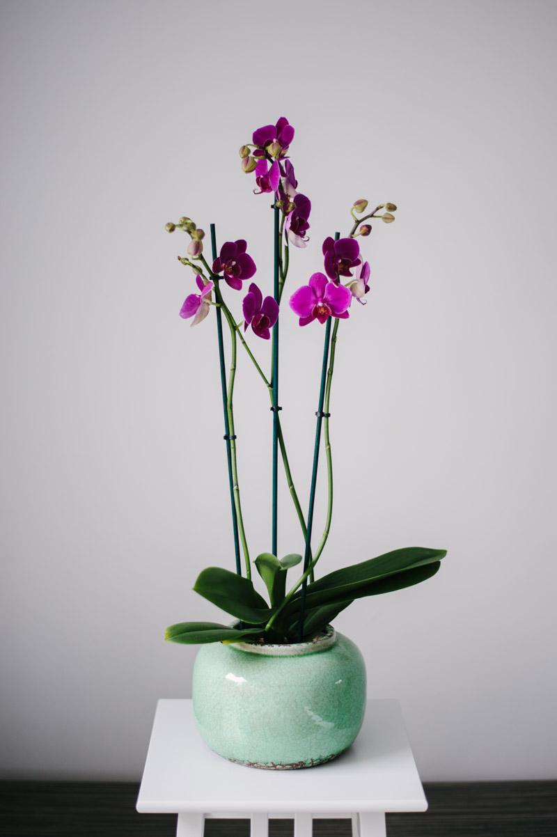 Comanda Orhidee Phalaenopsis