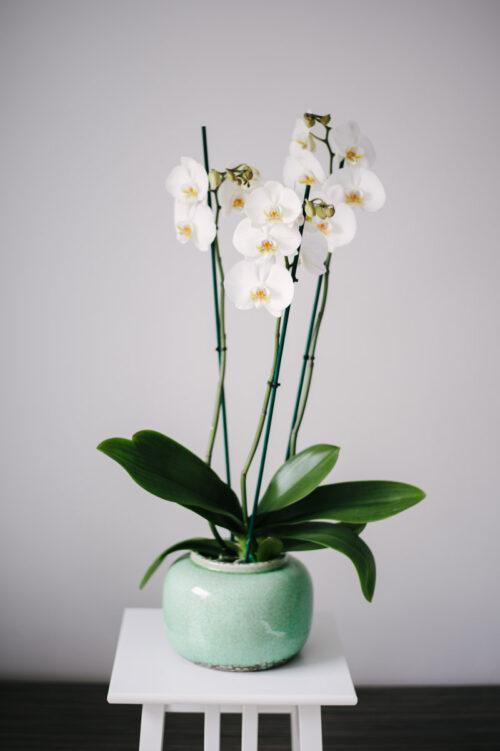 Orhidee La Ghiveci