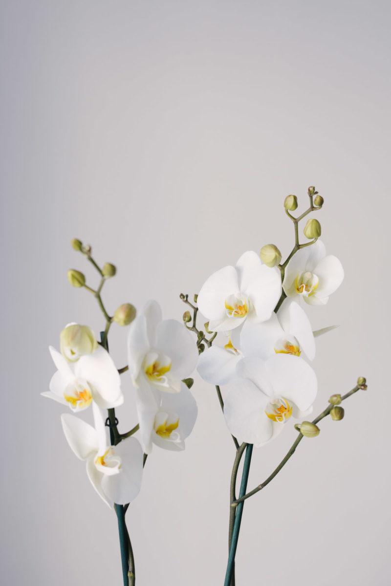 Orhidee La Ghiveci Cu Livrare In Focsani