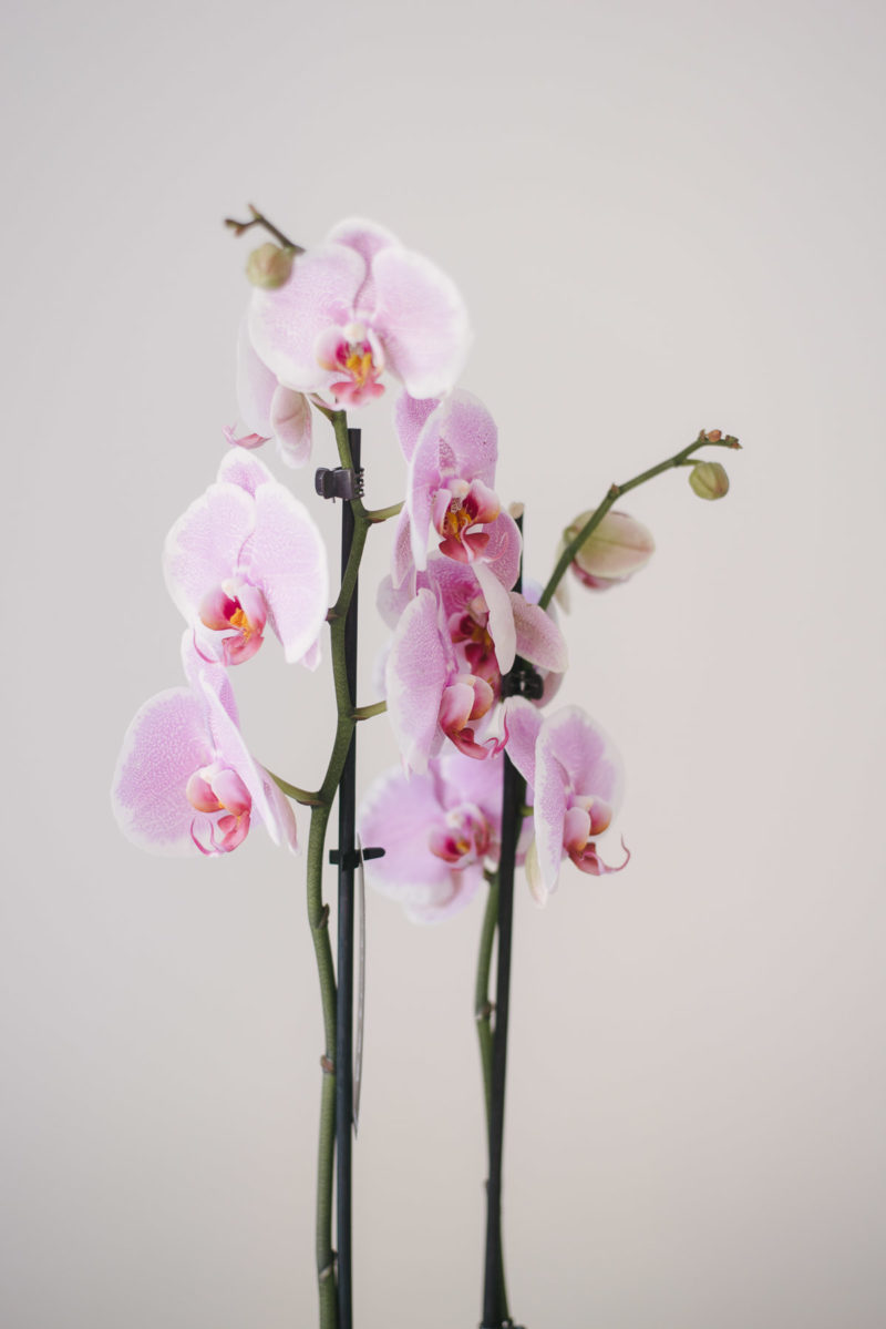 Orhidee Phalaenopsis Cu Livrare In Focsani